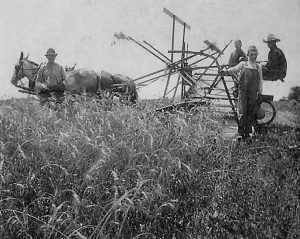 Cutting wheat on Otis Clifton farm, ca. 1920
